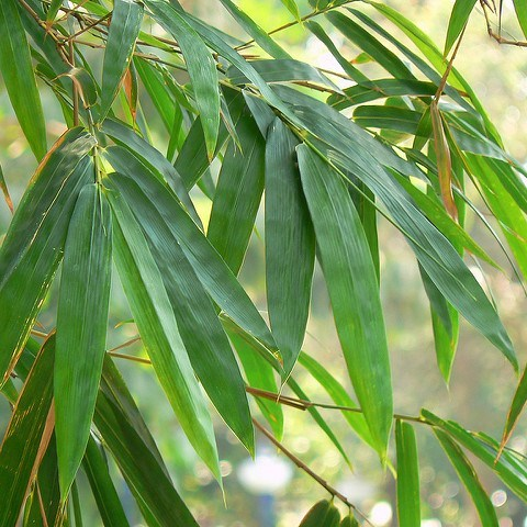 feuillage bambou fargesia non allergène