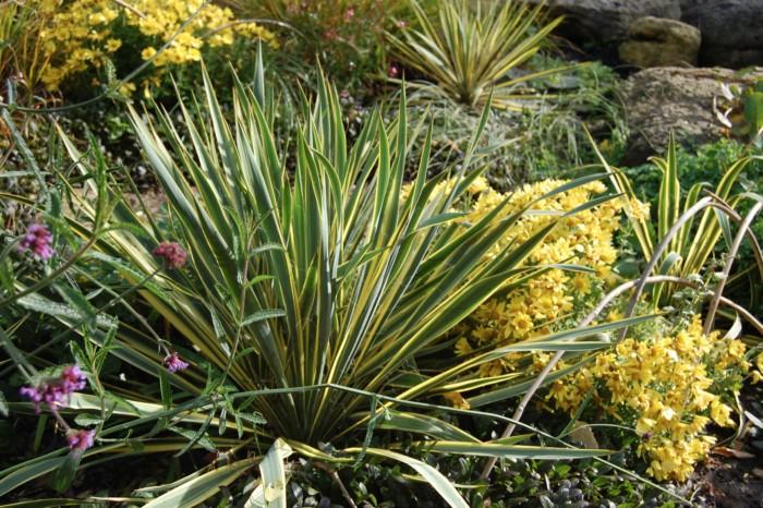 yucca panaché filamentosa bright edge plante grasse exterieur resiste au gel