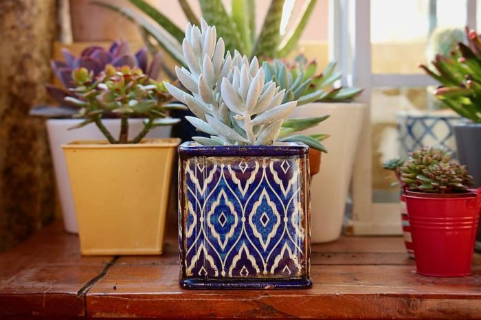 plante grasse intérieur gélive dans un pot