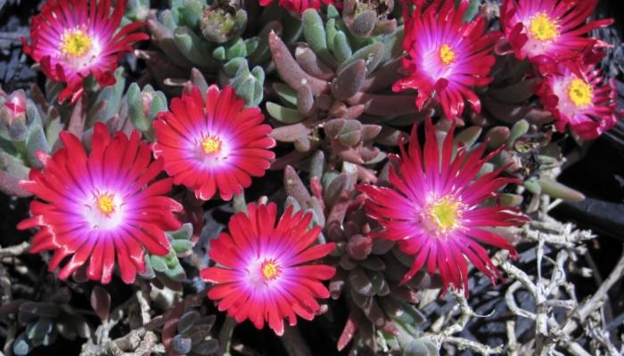 plante grasse Delosperma ou pourpier à fleurs roses pour l'extérieur