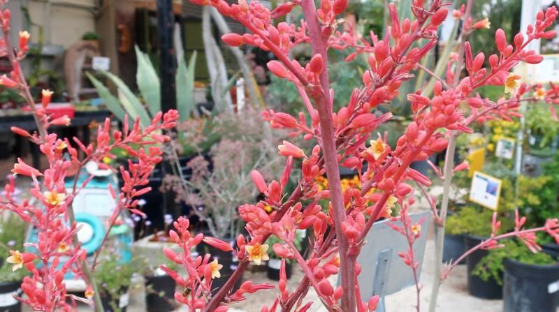 plante grasse exterieur Hesperaloe yucca fleurs roses resiste au froid