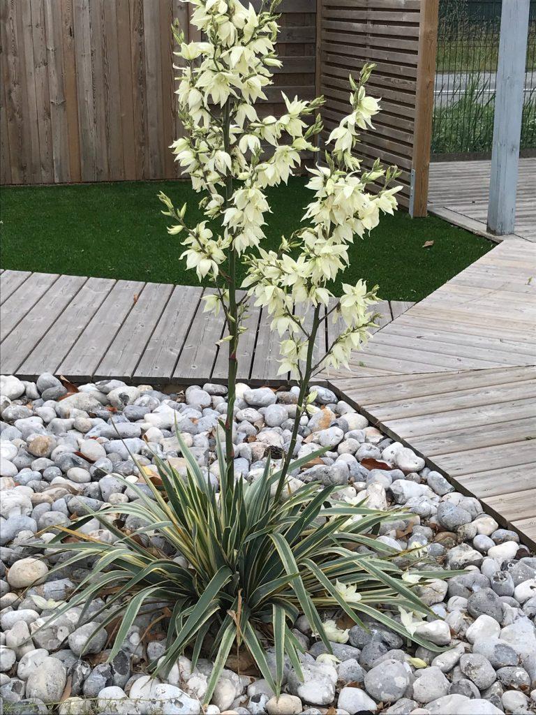 plante grasse exterieur dans galets yucca filamentosa bright edge panaché en fleur résistant au gel