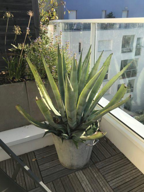 agave americana en pot sur terrasse plante grasse exterieur resiste au gel