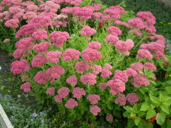 plante grasse exterieur resistant au gel Sedum spectabile brilliant à fleurs roses