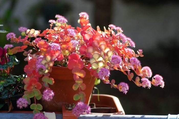 Plante grasse exterieur Sedum rampant à fleurs roses en pot
