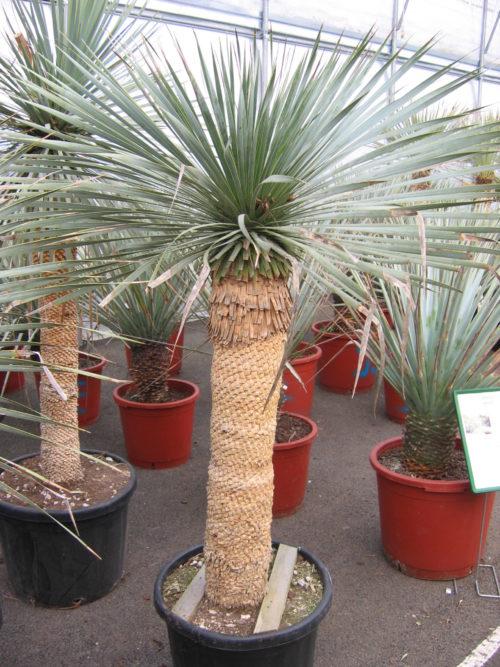 yucca rostrata sur tronc feuillage gris bleu plante grasse exterieur résiste au gel