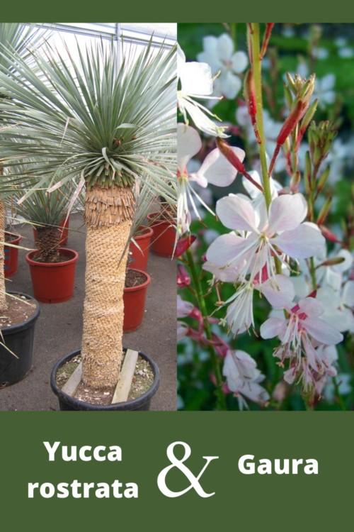 association de feuillages plante grasse yucca rostrata avec des gauras à fleurs