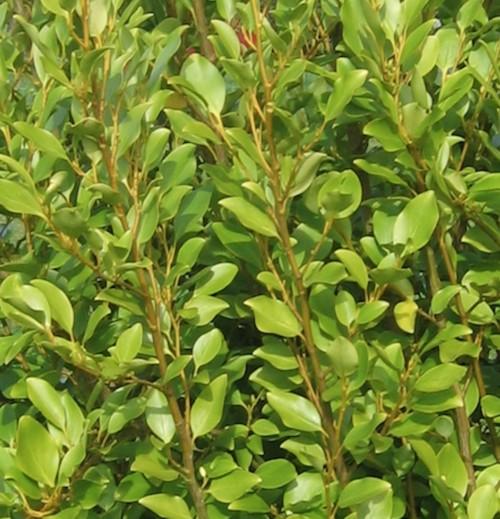 le griselinia est un arbuste persistant au feuillage lumineux vert clair