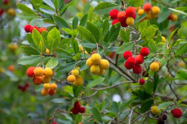 fraises de l'arbousier un arbuste persistant coloré