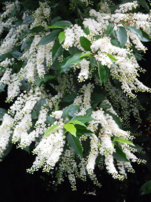 Le laurier du Portugal est un arbuste persistant à fleurs blanches