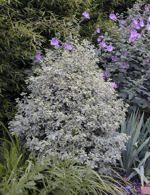 Pittosporum panaché, un arbuste persistant lumineux contre les vis à vis