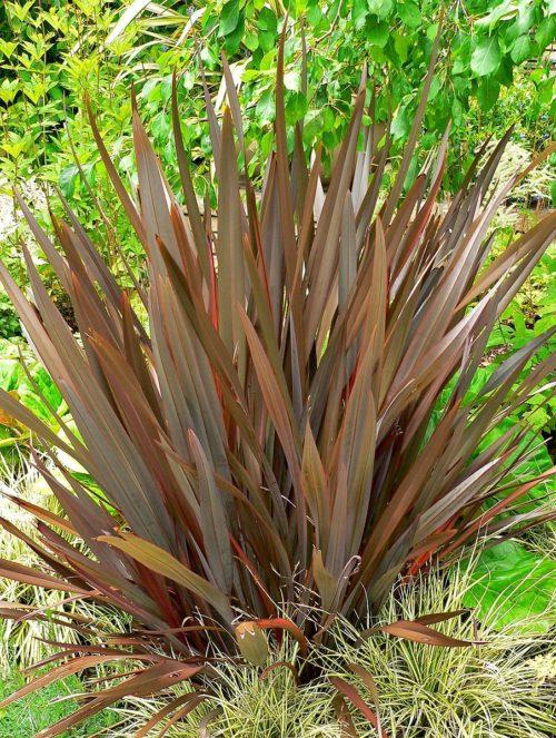 le phormium tenax purpureum est un arbuste persistant pourpre au feuillage foncé