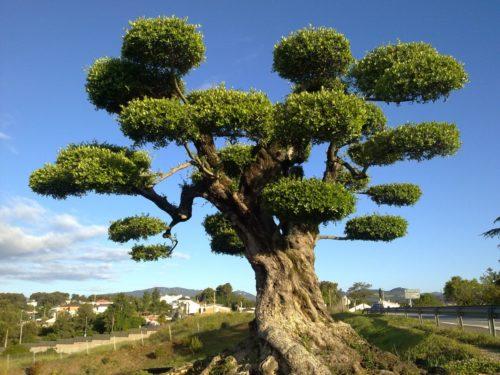 planter un olivier très cher