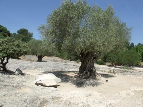 olivier planter dans un terrain aride et sec