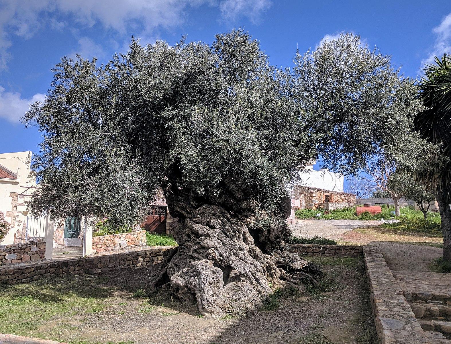comment planter un olivier centenaire