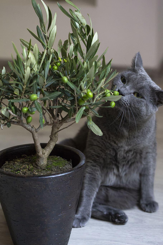 planter un olivier à petit prix en pot