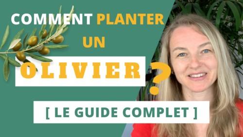 comment planter un olivier le guide complet