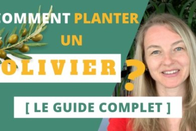 comment planter un olivier le guide complet