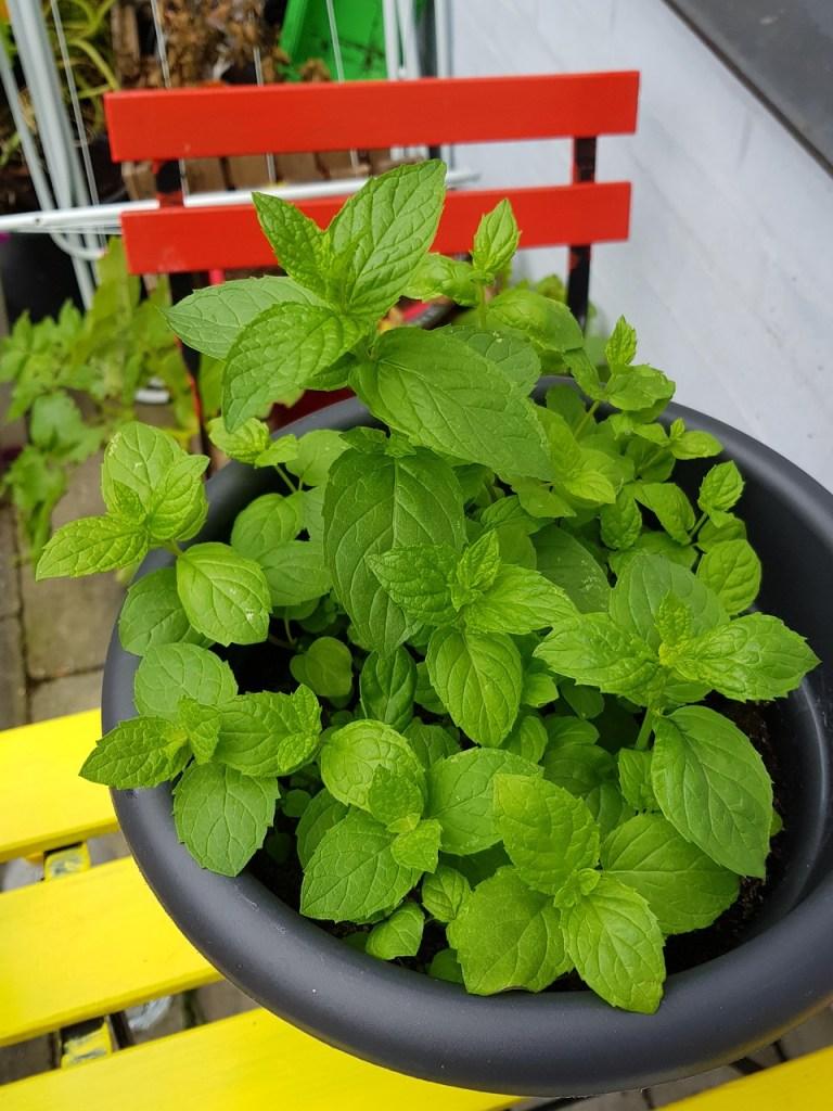 Planter de la menthe en pot sur la terrasse