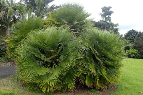 palmier chamarrons humilis résistant au gel dans le jardin