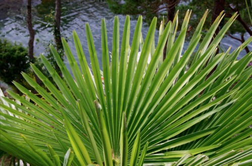 feuillage d'un palmier résistant au gel