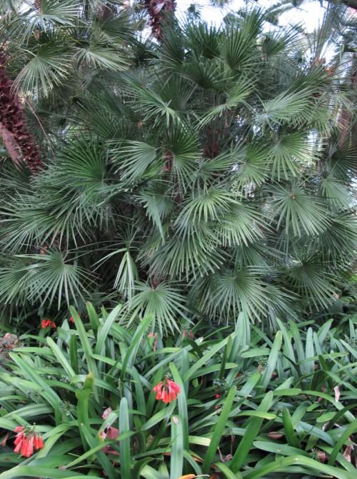 Chamaerops humilis, un palmier résistant au gel qui peut se planter en haie
