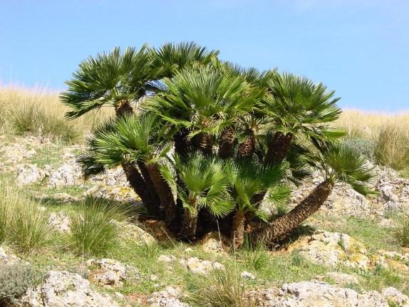 Chamaérops humilis, un palmier buissonnant qui résiste au gel