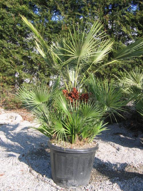 Chamaerops humilis, un palmier qui résiste au gel en pépinière