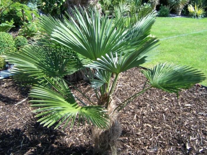 palmier nain résistant au gel dans un massif