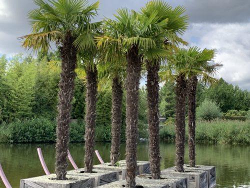 Trachycarpus fortunei, un palmier résistant au gel idéal pour cacher un vis à vis en hauteur