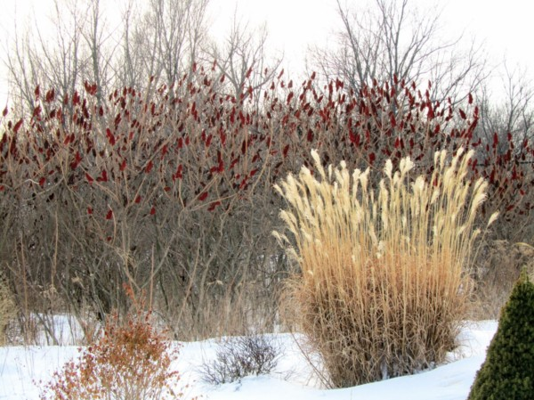 miscanthus sec sous la neige en hiver