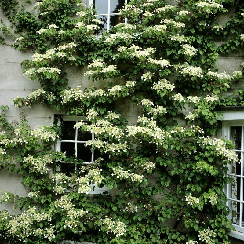 Distance entre 2 plantes grimpantes type hortensia grimpant
