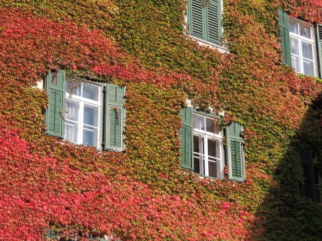 Nombre de plantes grimpantes vigne vierge pour recouvrir un mur