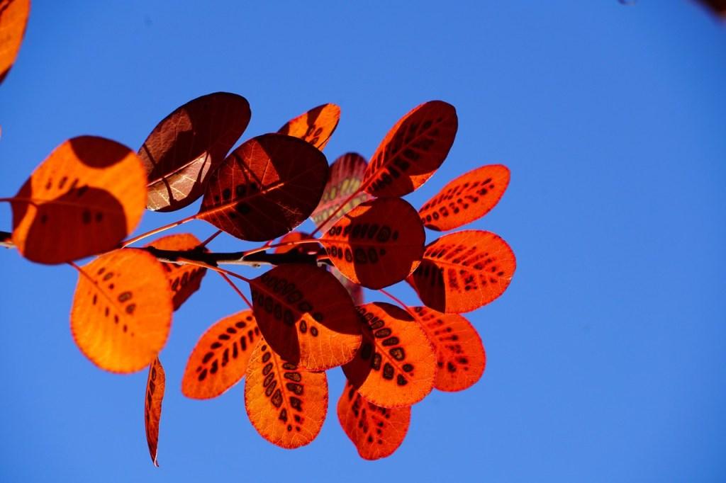 feuillage coloré rouge du Cotinus en automne