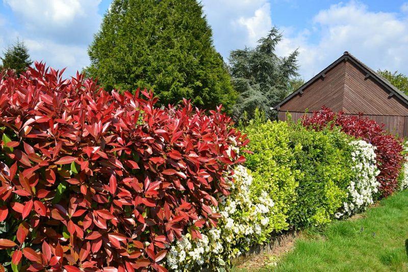 haie d'arbustes persistants colorés