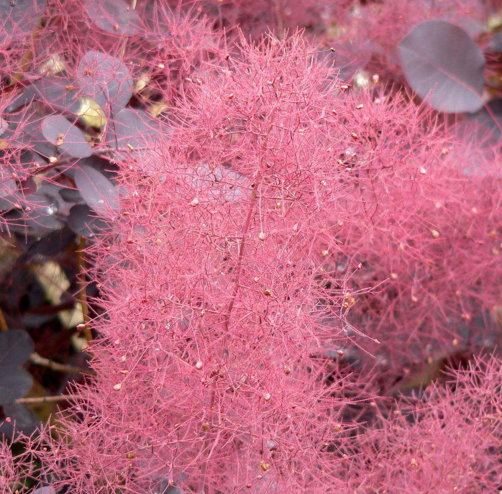 floraison rose du Cotinus