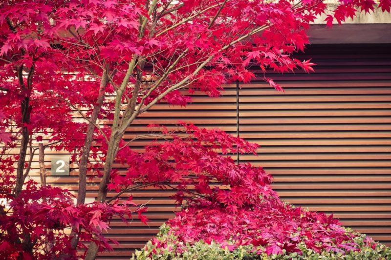 érable du japon rouge Acer palmatum atropurpureum