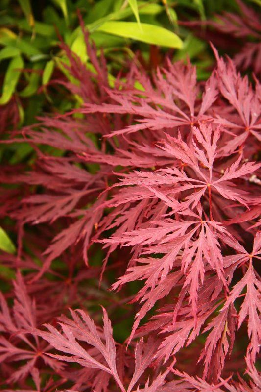 érable du japon Acer dissectum au feuillage rouge découpé