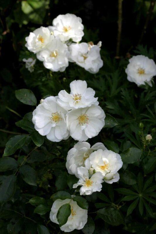 rosier grimpant fleurs simples blanches