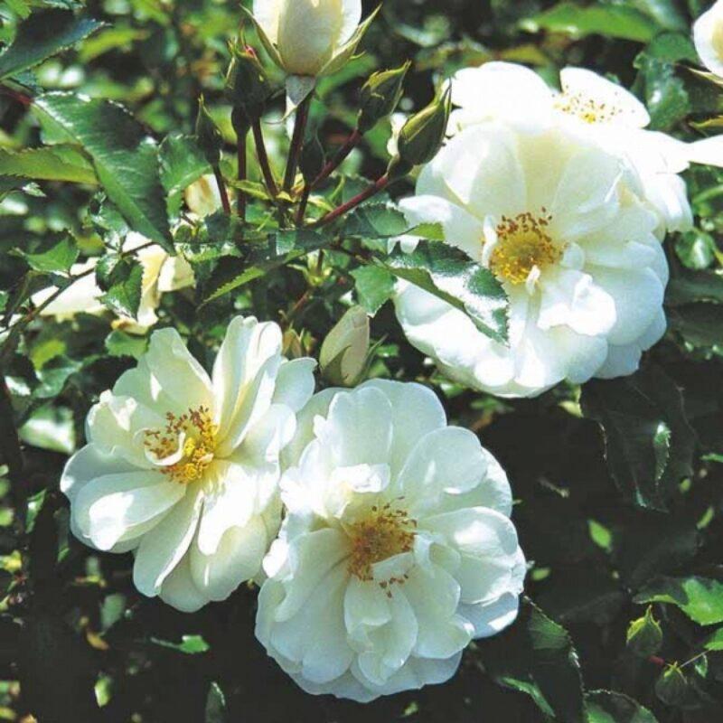 rosier grimpant floraison blanche