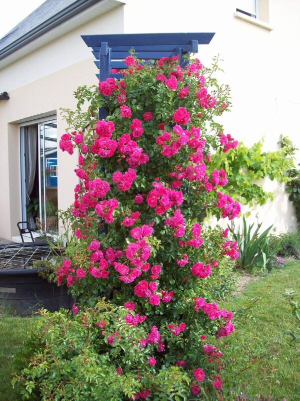 rosier grimpant rose sur pergola