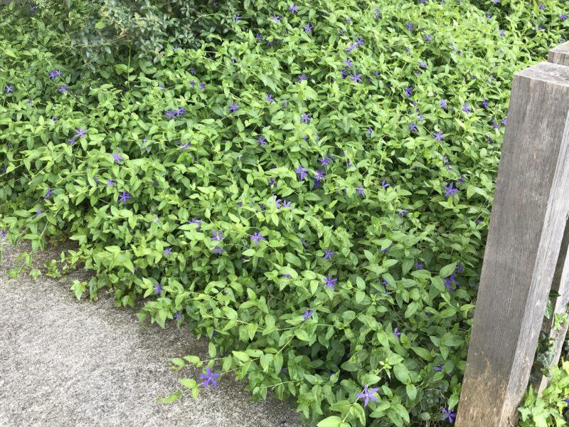 plante vivace tapissante couvre-sol