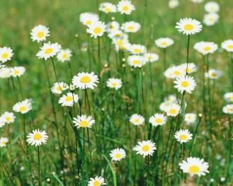 Oxeye Daisy Flowers