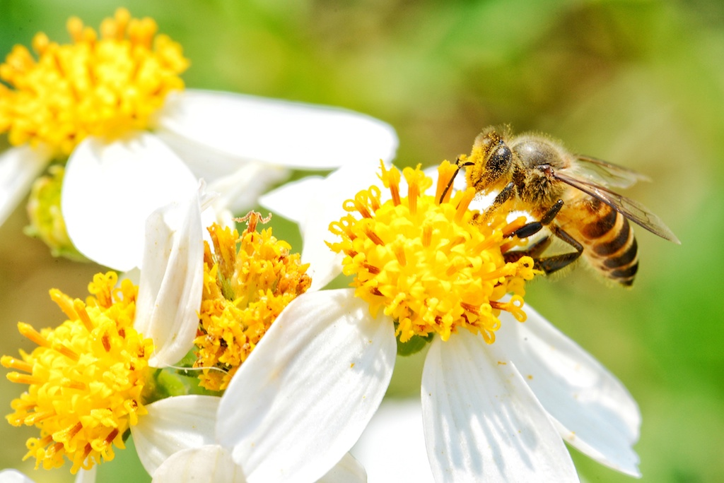 little bee smell  the white flower