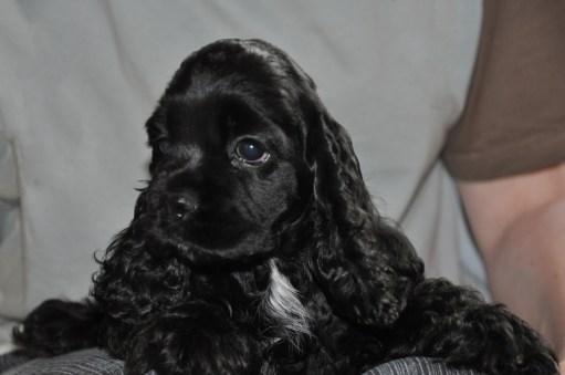 Cocker puppy noir