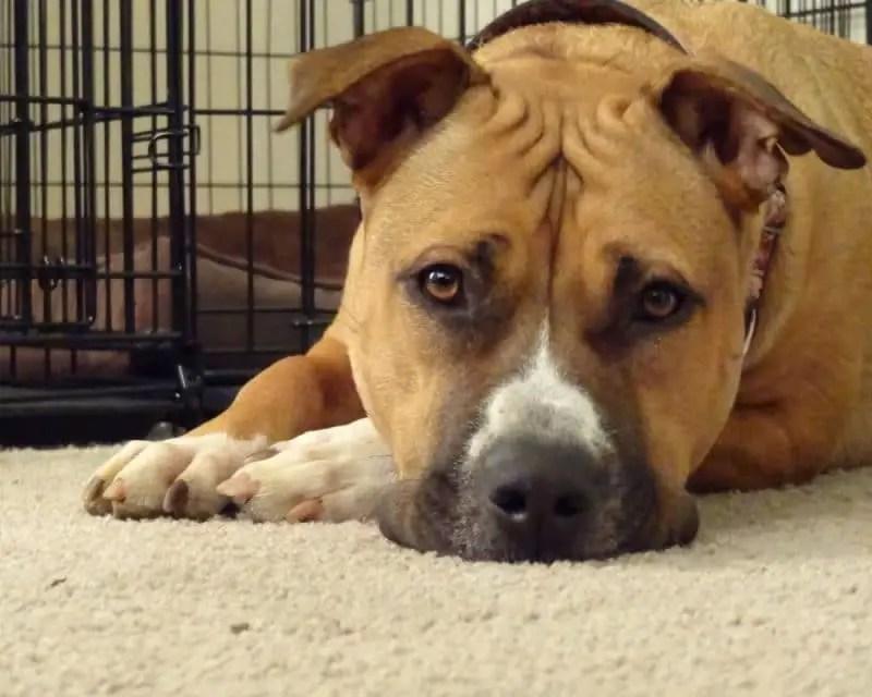 Cute Big Pitbull Mastiff Dog e1500273866656 Pitbull Dog History