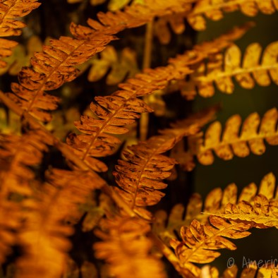 Hay-scented Fern at Cranberry Glades Botanical Area