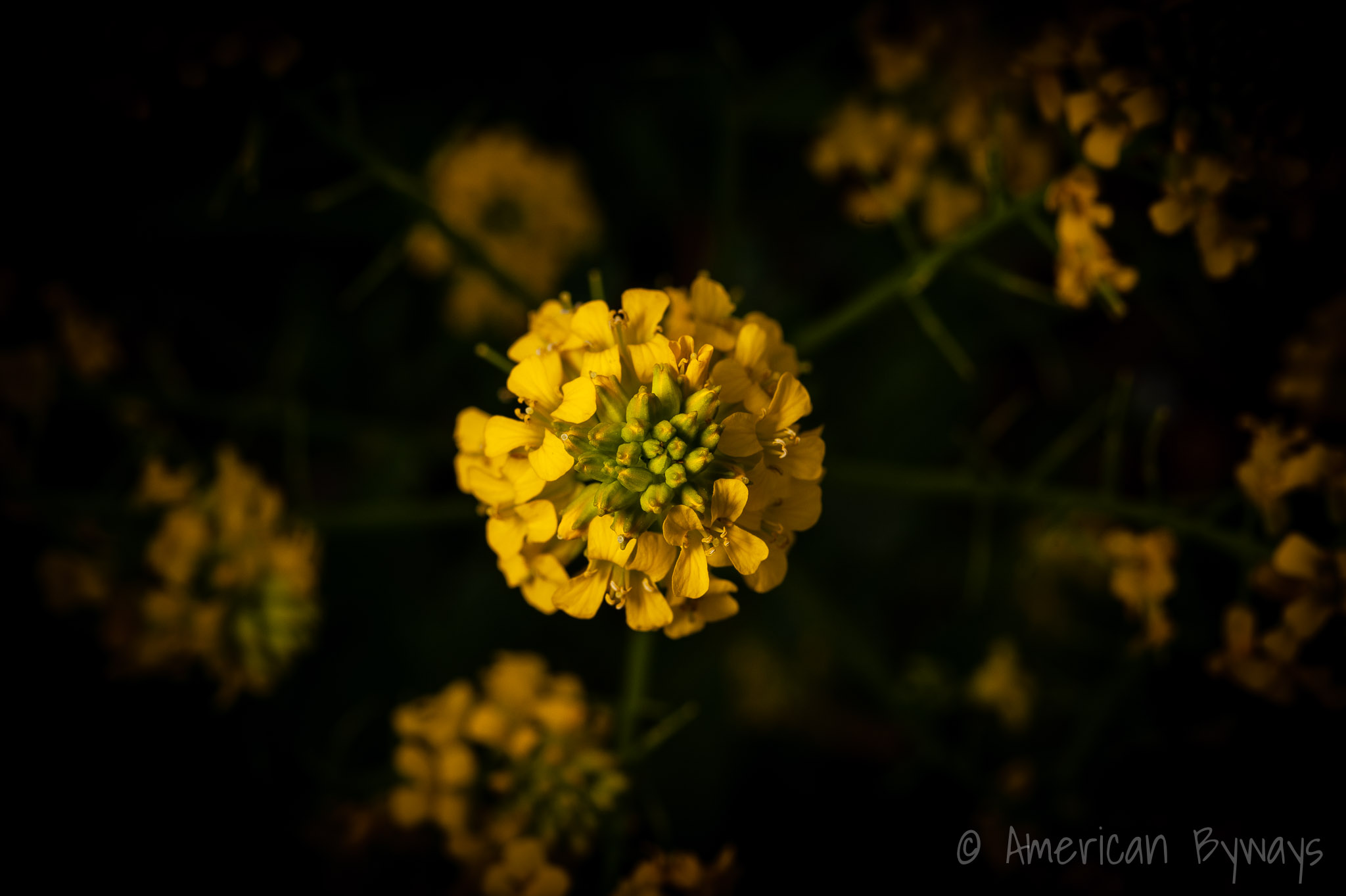 Yellow rocketcress (Barbarea vulgaris)