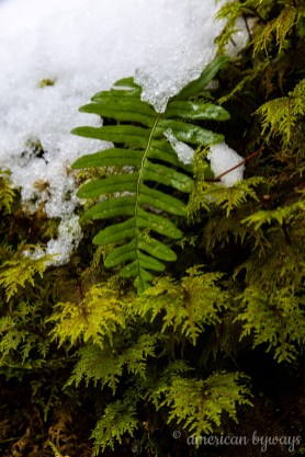 Maidenhair Spleenwort Fern