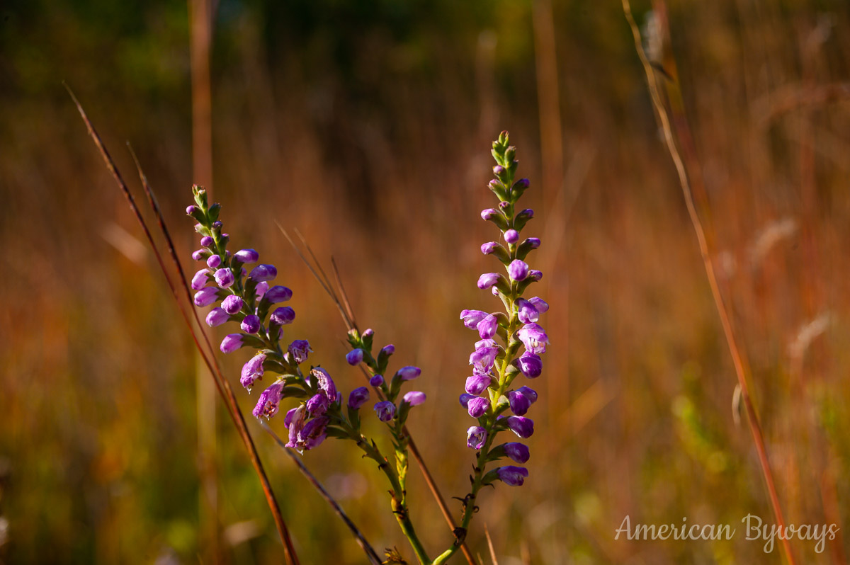 Fall Obedient Plant (Physostegia virginiana)